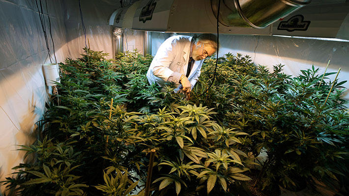 Jake Dimmock, co-owner of the Northwest Patient Resource Center medical marijuana dispensary, works with flowering plants in a grow room in Seattle.