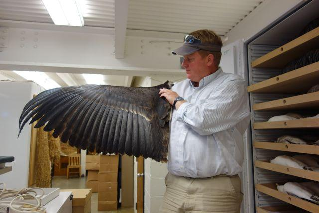 Collections manager Rob Faucett displays a condor wing at the Burke Museum. The Burke has the largest spread-wing collection in the world.