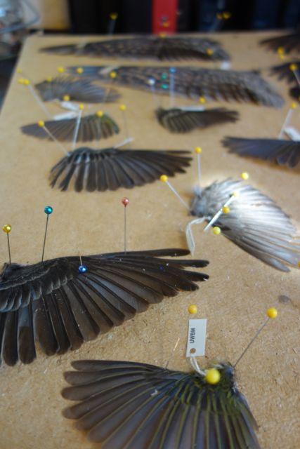 Spread wings being prepared at the Burke Museum.