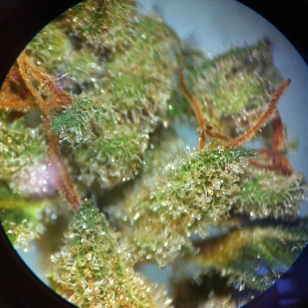 Marijuana sample at Northwest Botanical Analysis.