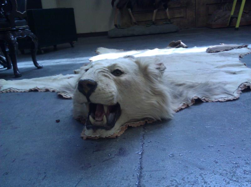 Lion skin rug.