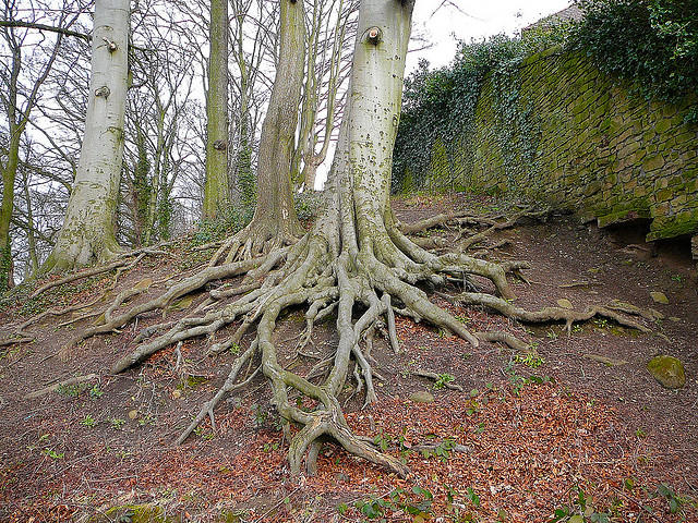 Tree roots show no tree stands alone