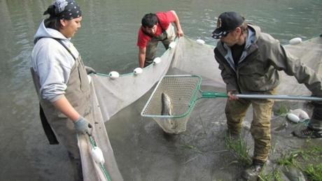 Field technicians with the Lower Elwha Klallam Tribe catch steelhead in a murky side channel near the mouth of the Elwha and prepare them to be transferred into pristine habitat above the former site of the lower dam.
