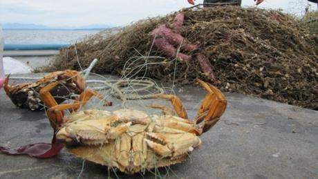Ghost nets keep capturing fish even after they're lost. These nets cost the dungeness crab industry hundreds of thousands in estimated lost revenue every year.