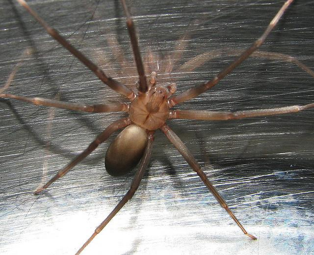 The venomous brown recluse spider