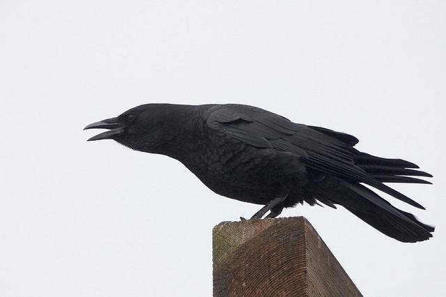Crows may be smart, but they are not beloved. Seattleites reported they would spend money to see fewer of them.