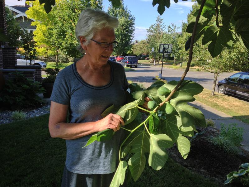 Gail Savina, founder of Seattle's City Fruit, shows off figs she plans to harvest later from ornamental trees in a residential neighborhood. City Fruit harvested about 20,000 pounds of fruit for Seattle food banks last year.