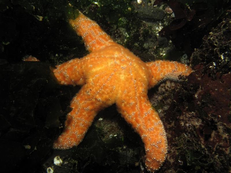 An ochre star. The unidentified wasting disease has also been spotted among ochre stars in Olympic National Park.