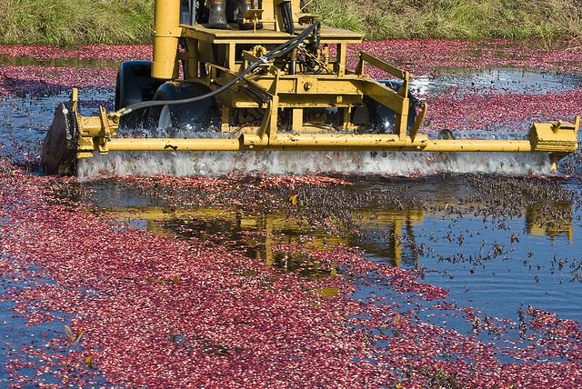 "Cranberries fields are flooded and the berries are then ""picked"" by a special harvester."