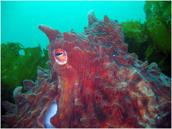 A giant Pacific octopus in Washington state waters.