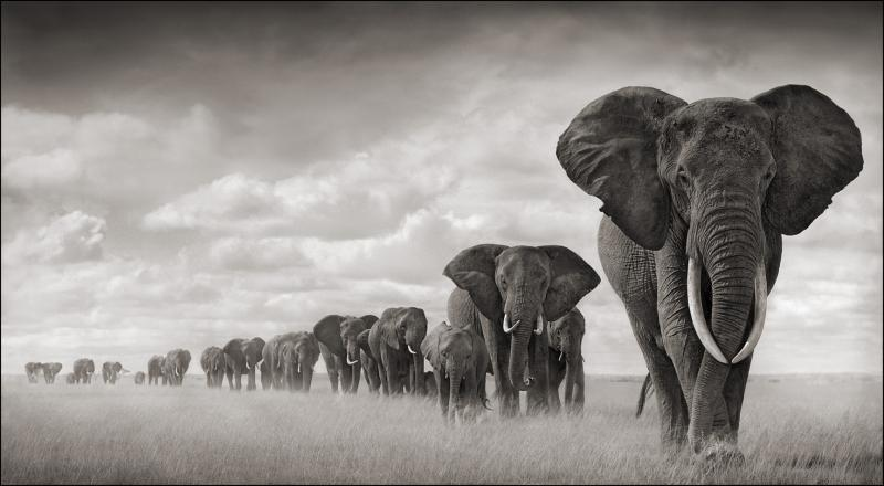 Elephants walk through grass in 2008. The lead matriarch of this herd was killed by poachers the next year.