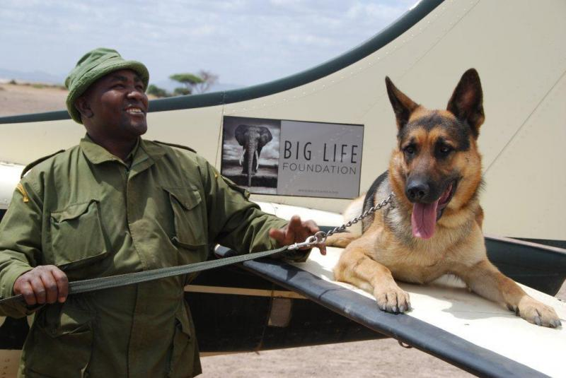 Big Life Foundation employs workers locally to track poachers. Here, a tracker dog on a Big Life Foundation plane.
