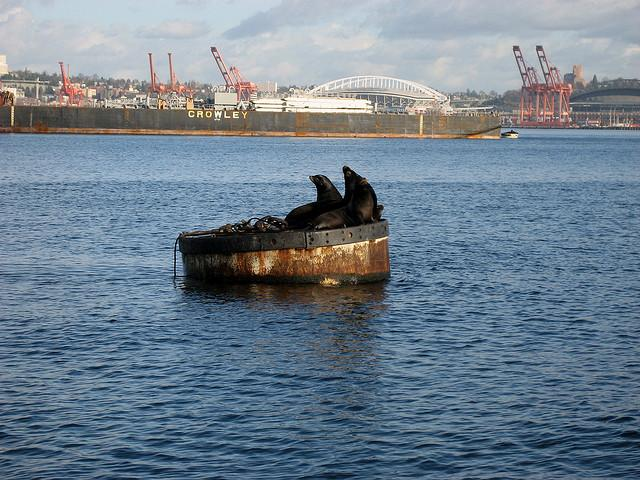 Sea lions with downtown Seattle in the background.