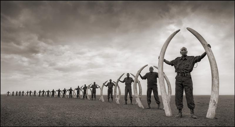 Rangers hold the tusks of killed elephants.