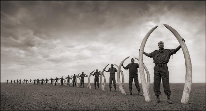 Rangers hold the tusks of killed elephants.