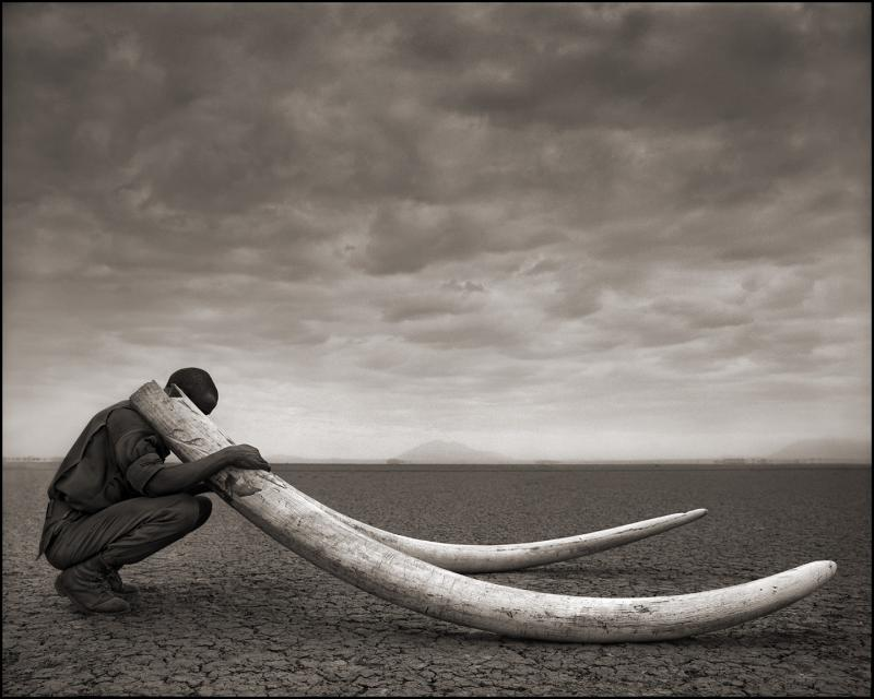 A ranger holds the tusks of a killed elephant.