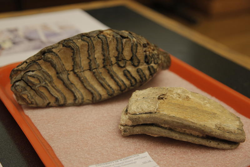Two fossilized mammoth teeth from the Burke Museum's paleontology collection. The front specimen was collected during the Denny Regrade.