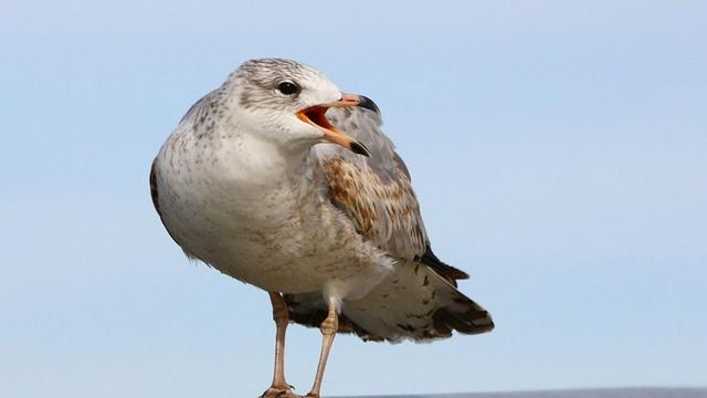 The ring-billed gull. It's one of three types of bird that will be shot if non-lethal hazing fails to stop them from eating juvenile salmon and steelhead at five dams on the Columbia and lower Snake rivers.