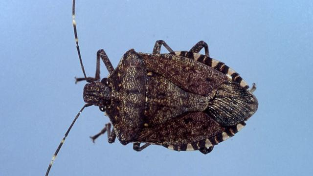 Northwest researchers are teaming up to stop an invasion of stink bugs moving across the region. The bugs, which can smell like dirty gym socks, ruin tree fruit and grape vines.