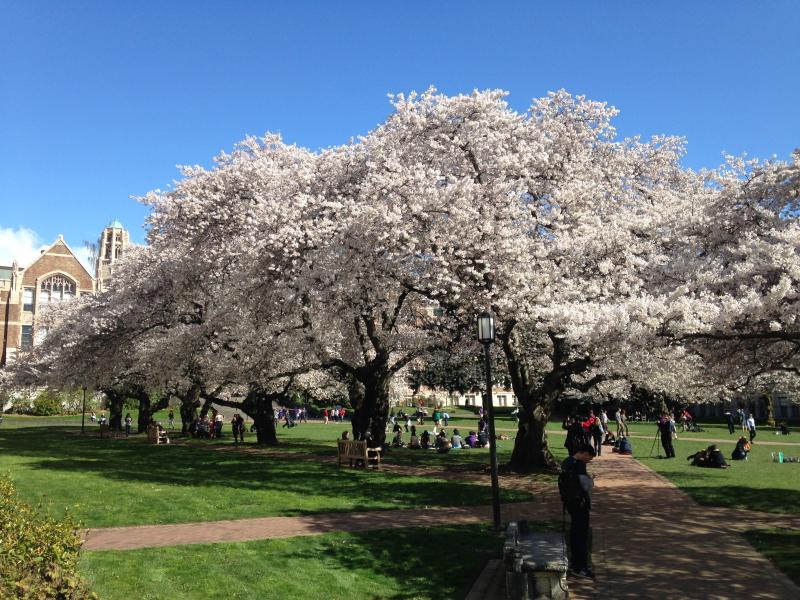 Cherry blossoms at the UW Quad.