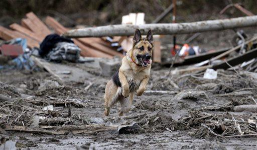 Search dog Stratus leaps through a debris field while working with a handler on the Oso mudslide site.