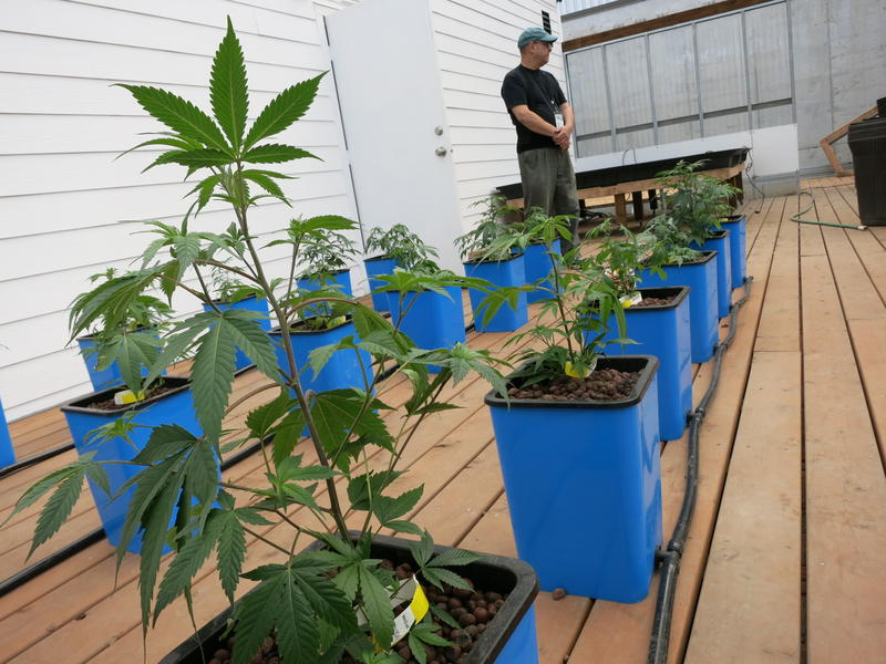 Marijuana plants growing at Seattle's first legal pot farm, Sea of Green.