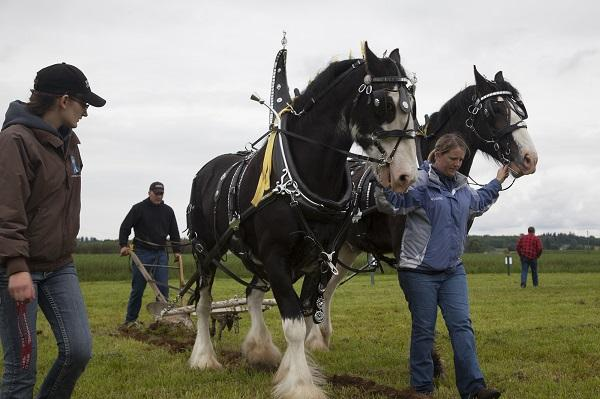 Courtney Polinder plows at the 2013 International Plowing Match while his wife, Heidi, right, helps steer the horses in the furrow. Courtney's grandfather, Fred Polinder, began competing at the plowing match in 1943.