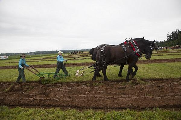 "Kristen Shilley of Monroe, left, plows while her mother, Donna Shilley, ""drives"" a team of Percherons. They competed in the ladies class at the 2013 International Plowing Match."