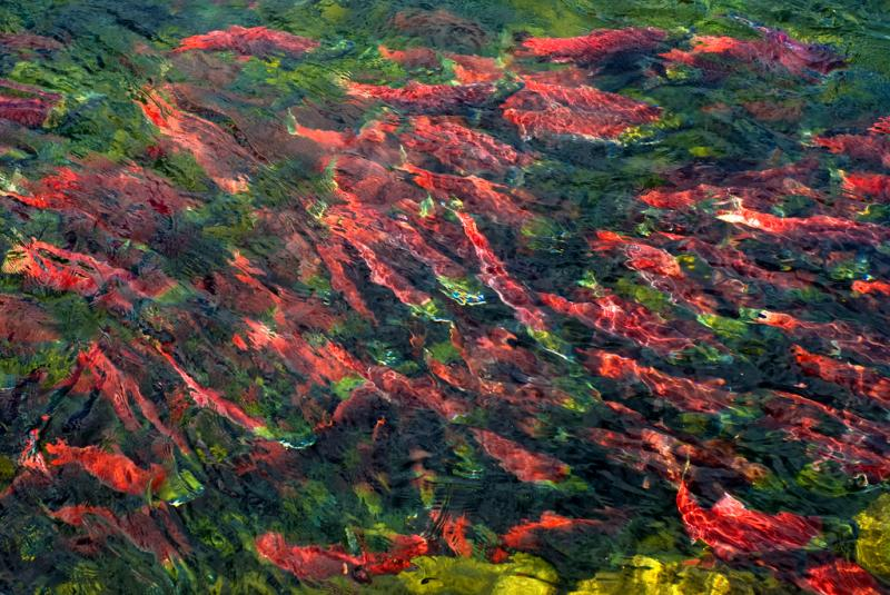 A run of sockeye salmon in Canada.