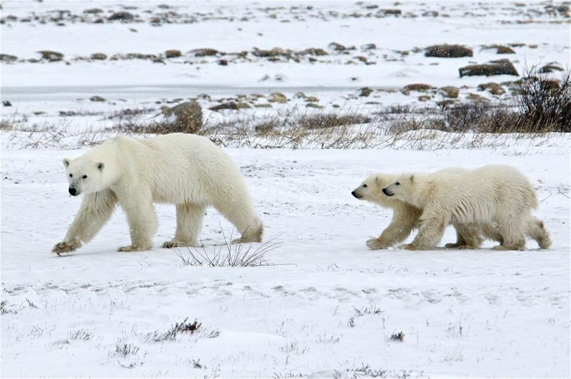 Polar bears in Manitoba, Canada.