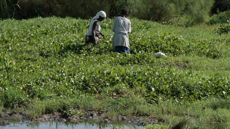 Lake Victoria in Africa is among many bodies of water that have been consumed by the water hyacinth. A Seattle group has figured out how to convert the invasive aquatic plant into a sanitary napkin.
