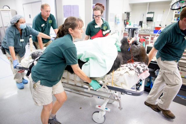 Zoo staff wheel alpha gorilla Vip to the operating room at Woodland Park Zoo in Seattle. Vip underwent sinus surgery last summer after an infection spread beyond his skull.