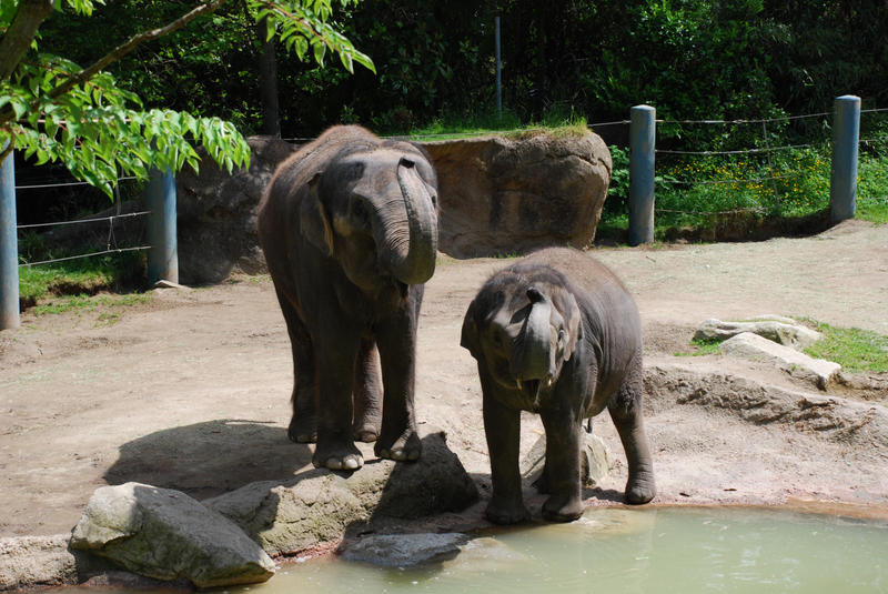 Woodland Park Zoo's Chai and baby Hansa. Hansa died in 2007 at 6 1/2 years old. The zoo announced this week that Chai and Bamboo would be transfered to another zoo.