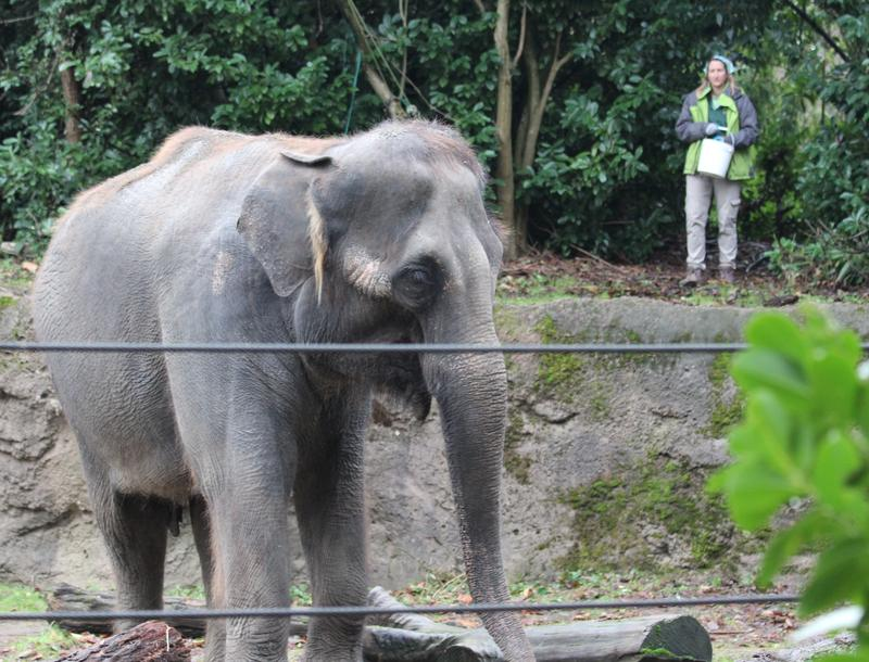 Chai, the Woodland Park Zoo's 35 year-old Asian elephant, browses for treats thrown by her keeper in the zoo's elephant enclosure. The zoo is looking for a new home for Chai and other remaining elephant, Bamboo.