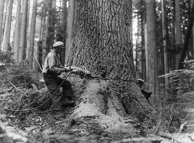 A logger fells a noble fir in 1943 in Snoqualmie National Forest. A long butt is the lower end of a tree discarded by loggers because of a defect, according to the Dictionary of American Regional English.