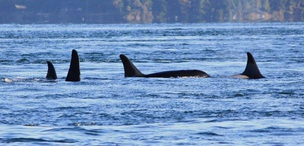 A photo taken November 29, 2014, in Speiden Channel, north of San Juan Island. J32 Rhapsody is in the lead, on the right. J32 Rhapsody was reported dead on Dec. 4, 2014.