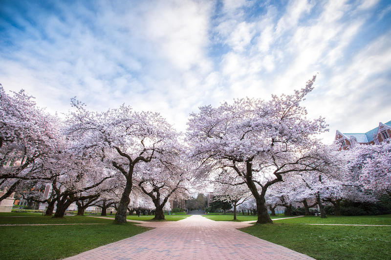 One of the most famous sights on the University of Washington Seattle campus is when the cherry trees bloom in the quad each spring.