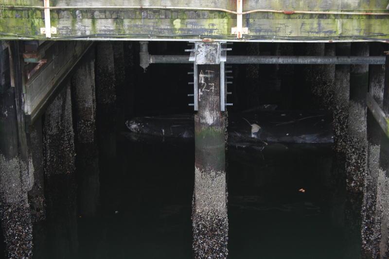A dead gray whale floats underneath Colman Dock in Seattle.