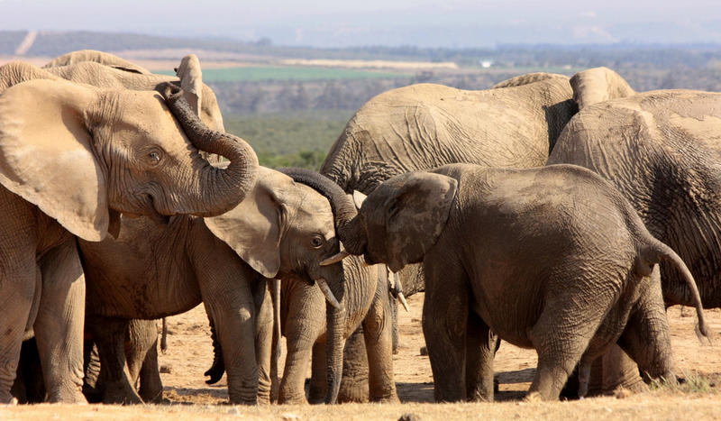 Elephants at Addo Elephant Park in the Eastern Cape, South Africa.