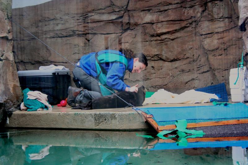 Seattle Aquarium veterinarian Lesanna Lahner checks Mishka's fur after the otter was transferred from Seward, Alaska in February 2015.