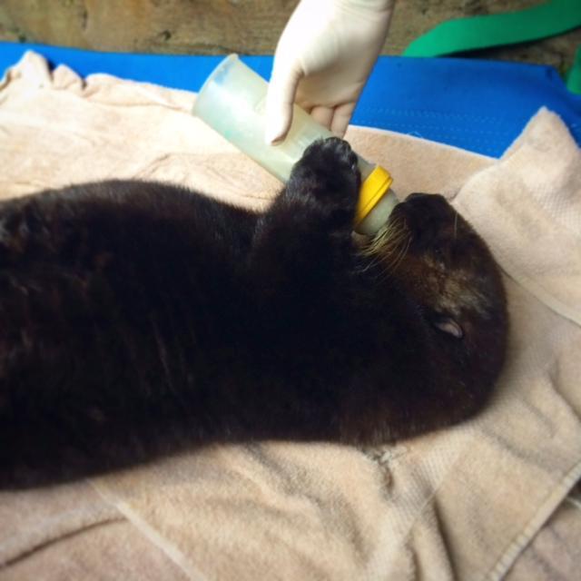 Seattle Aquarium veterinarian gives sea otter pup Mishka formula in a bottle.