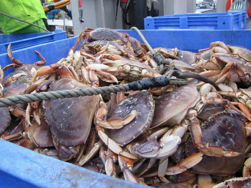 Dungeness crab being unloaded at the Quinault Indian Nation docks in Westport, Washington.
