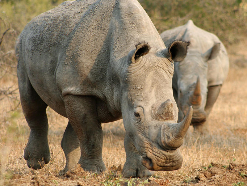 Rhinos in Kwazulu Natal, South Africa. Seattle company is bioengineering rhino horns to cut down on poaching.`