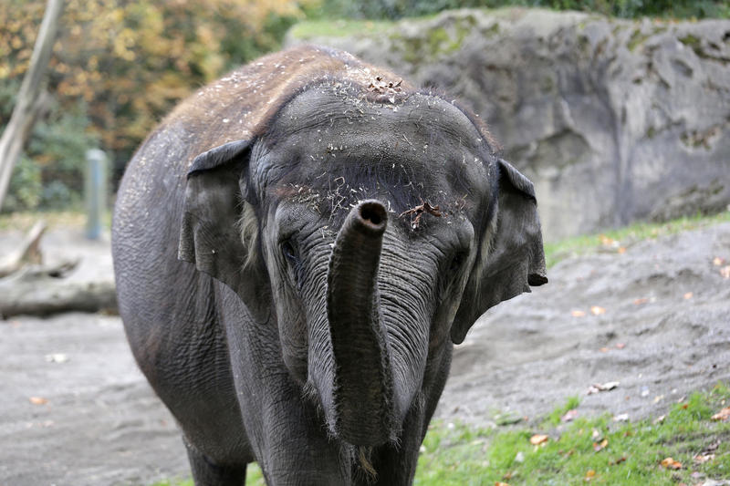 Bamboo, 47, an Asian elephant, walks toward people watching her at the Woodland Park Zoo Nov. 19, 2014.