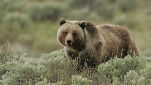 Keep grizzly bears in Alaska, residents of Central Washington residents have told federal agencies. Agencies are considering reintroducing the bears to the area.