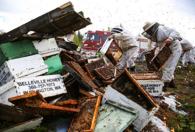 Workers clean up on Friday, April 17, 2015 after a semi truck filled with over 400 beehives overturned on Interstate 5 in Lynnwood. Workers tried to rescue as many bees as possible before firefighters sprayed them with foam from a fire truck.