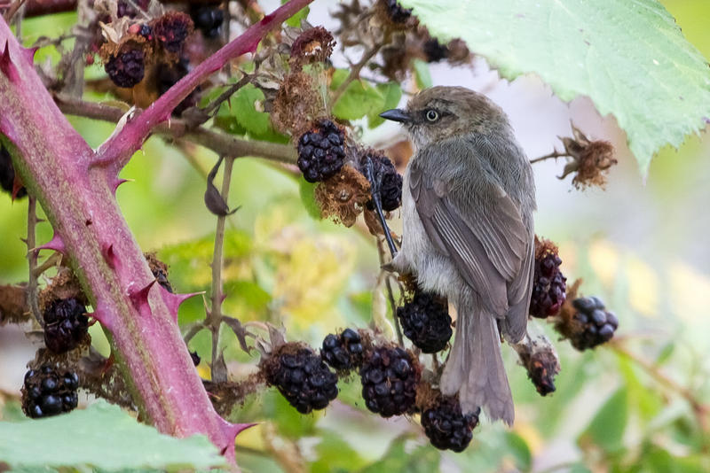 This bushtit is a commong bird found in the Seattle area.
