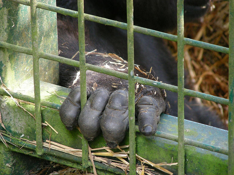 A gorilla at Port Lympne Wild Animal Park.