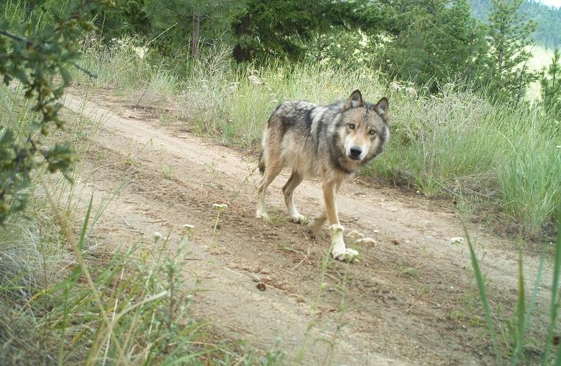 A gray wolf trots along a road in Washington state.