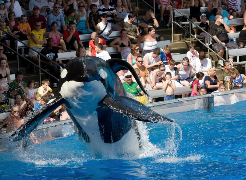 An Orca performs at a SeaWorld location in 2008.